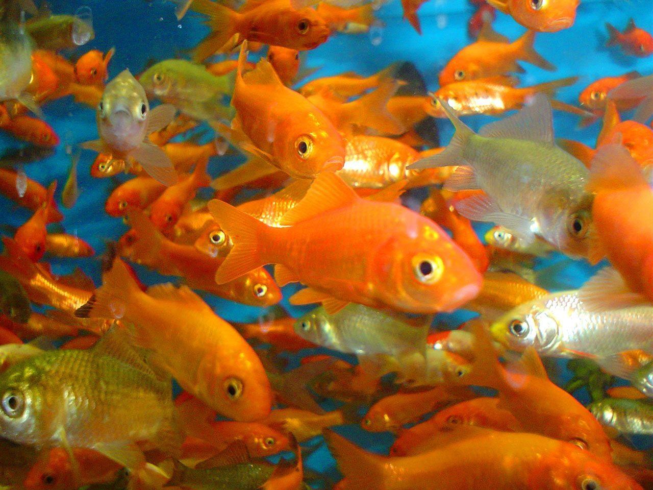 Galer a de im genes pez carp n dorado for Peces para acuario