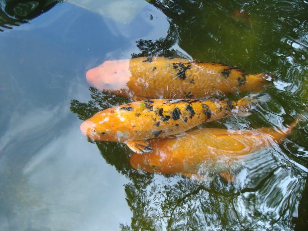 Galer a de im genes pez carpa koi for Carpas koi cuidados