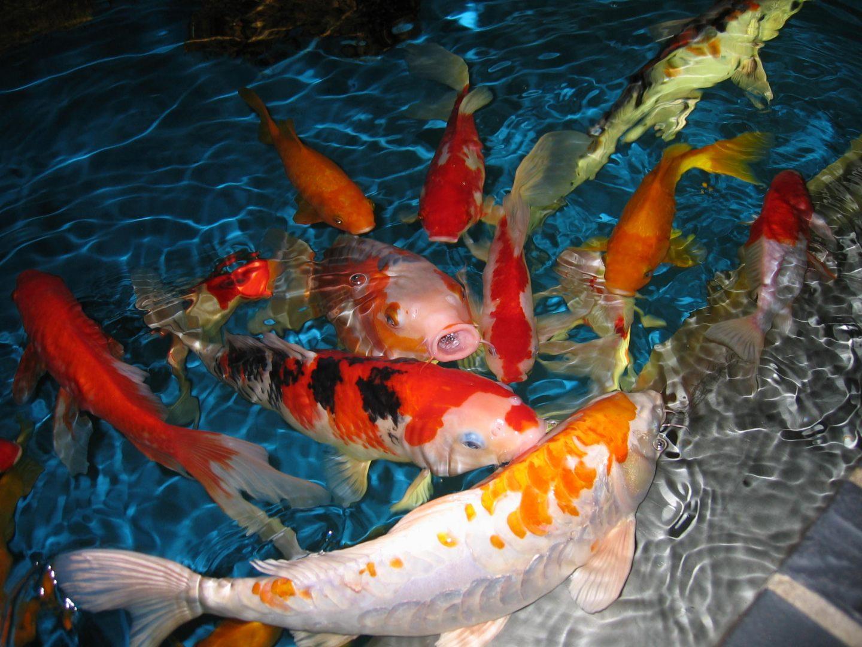 Galer a de im genes pez carpa koi for Peces para estanques de jardin
