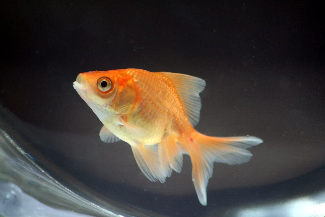 Galer a de im genes pez carp n dorado for Enfermedades de peces goldfish
