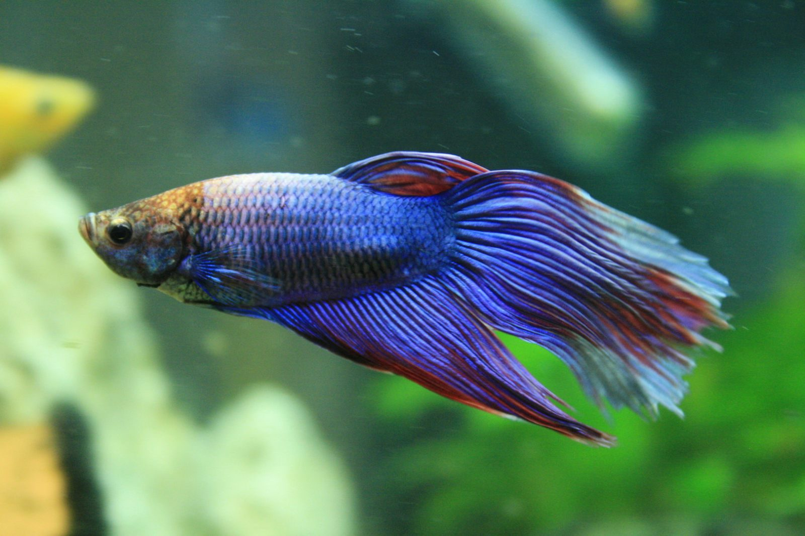 Cola del pez Betta