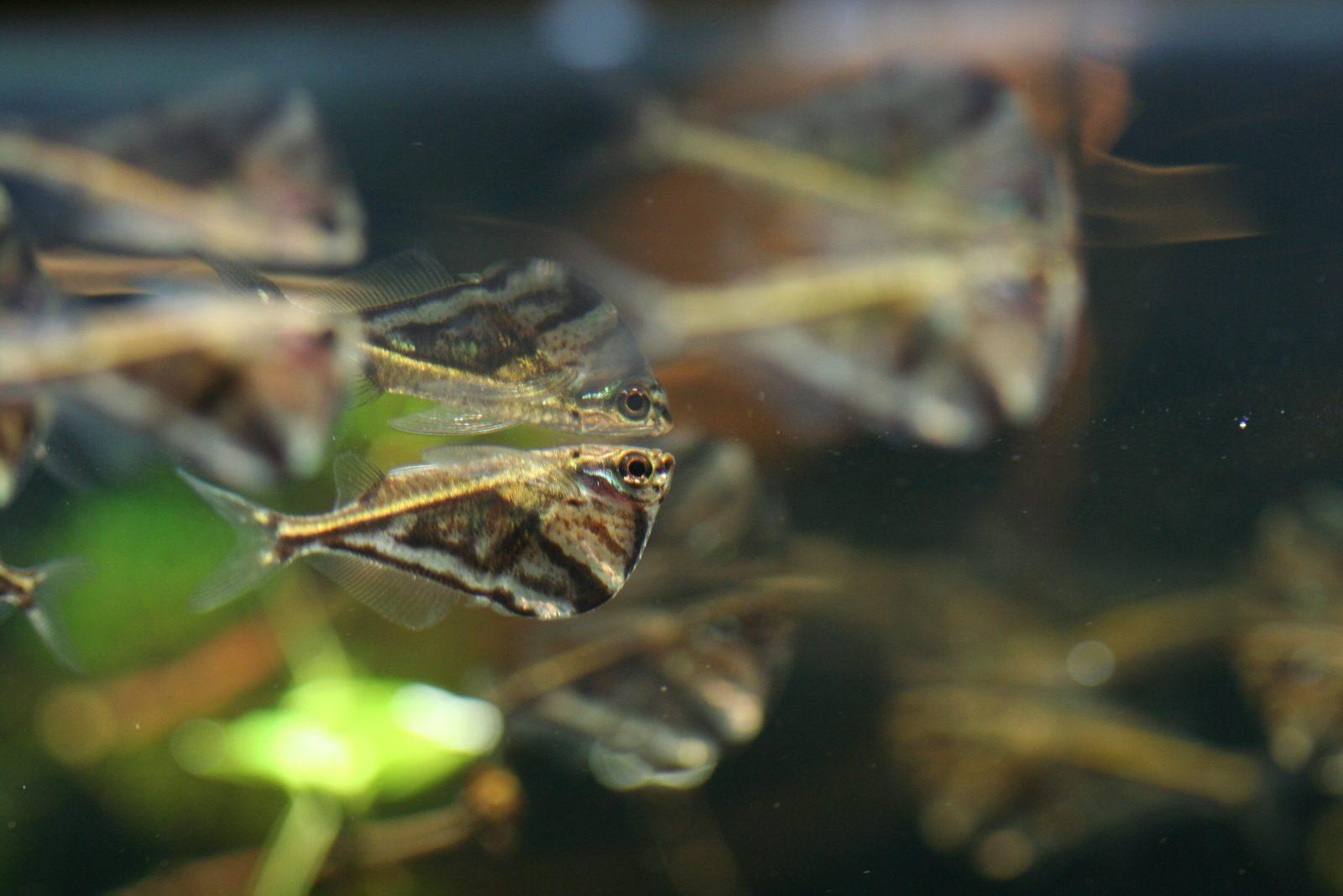 Foto art stica del pez hacha de m rmol im genes y fotos - Cuidados del marmol ...