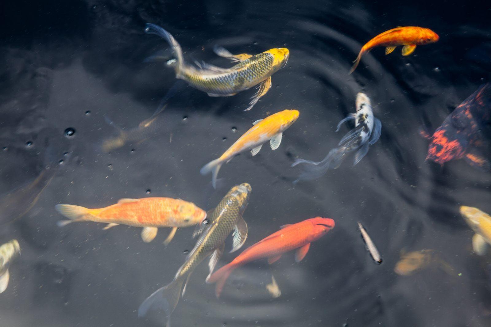 Resultado de imagen de carpas pez