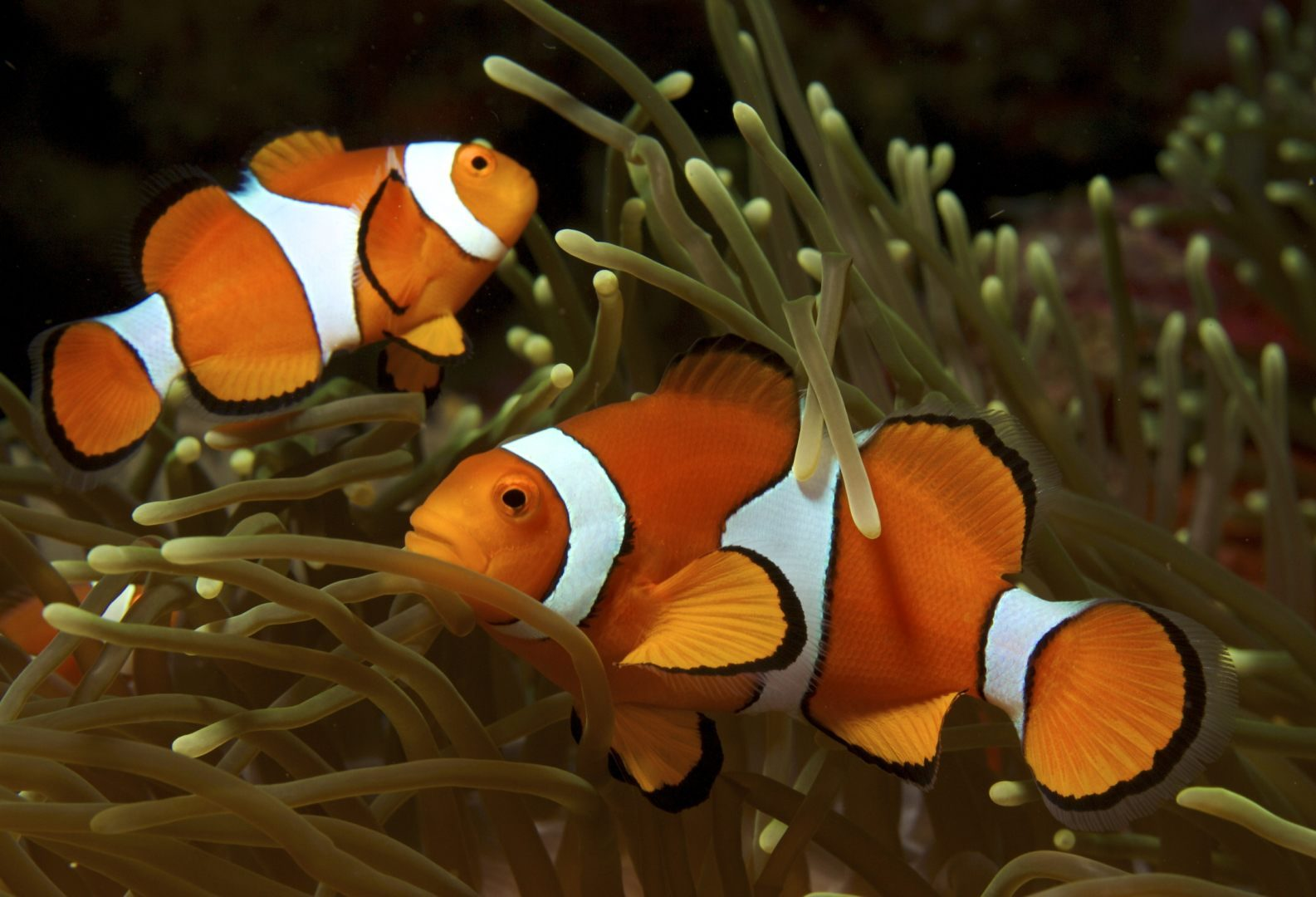 Peces nemo im genes y fotos for Fabricacion de estanques para peces