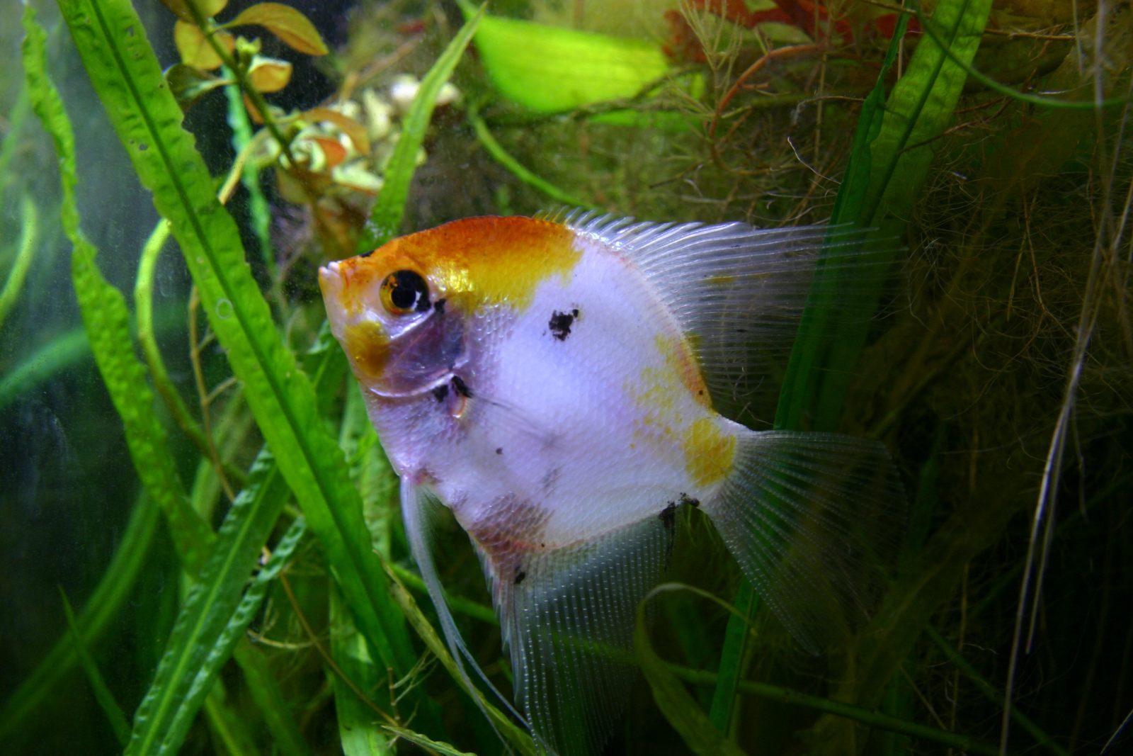 Peque o pez escalar im genes y fotos for Pez escalar enfermedades