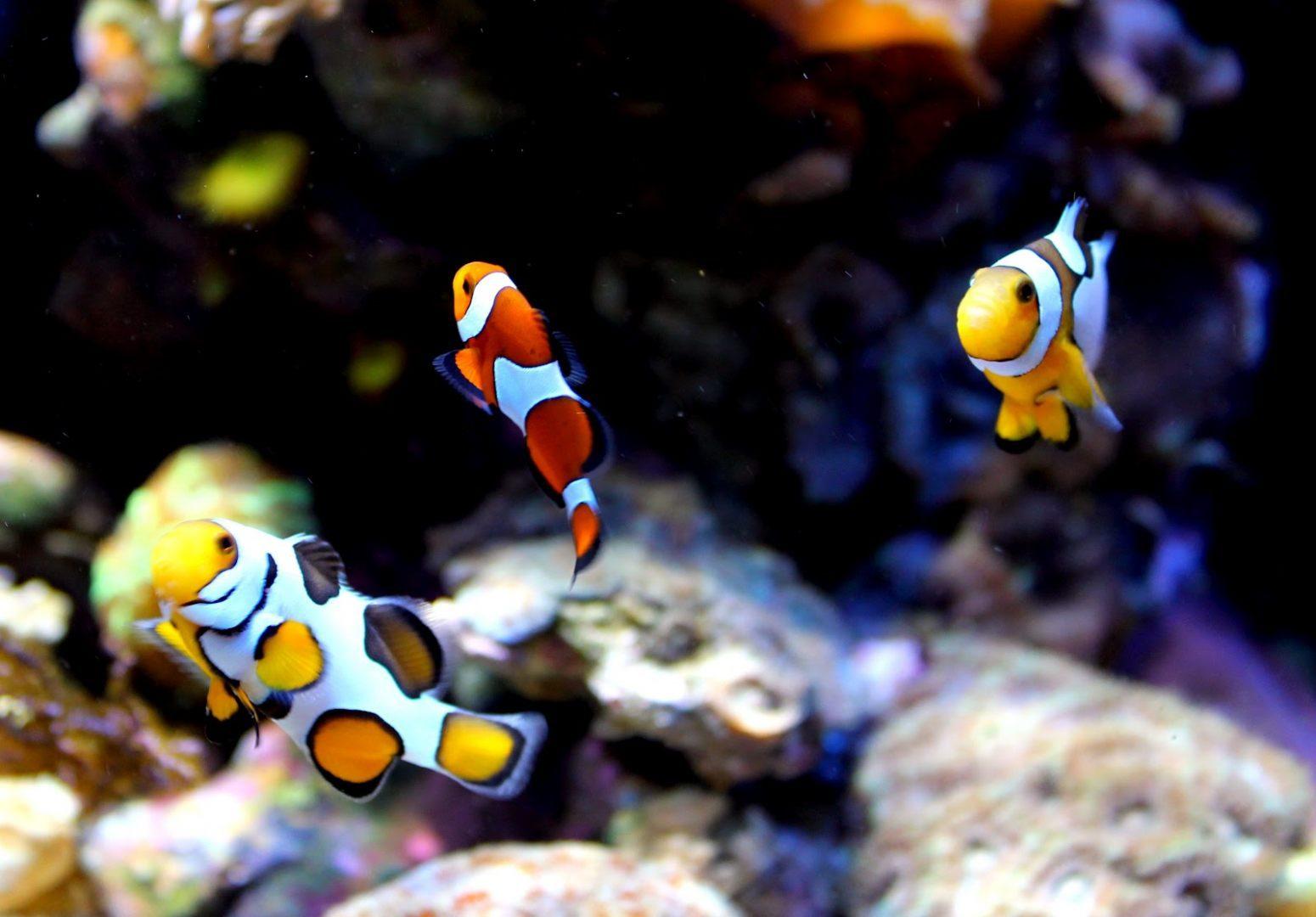 Galer a de im genes pez payaso for Peces para acuarios pequenos