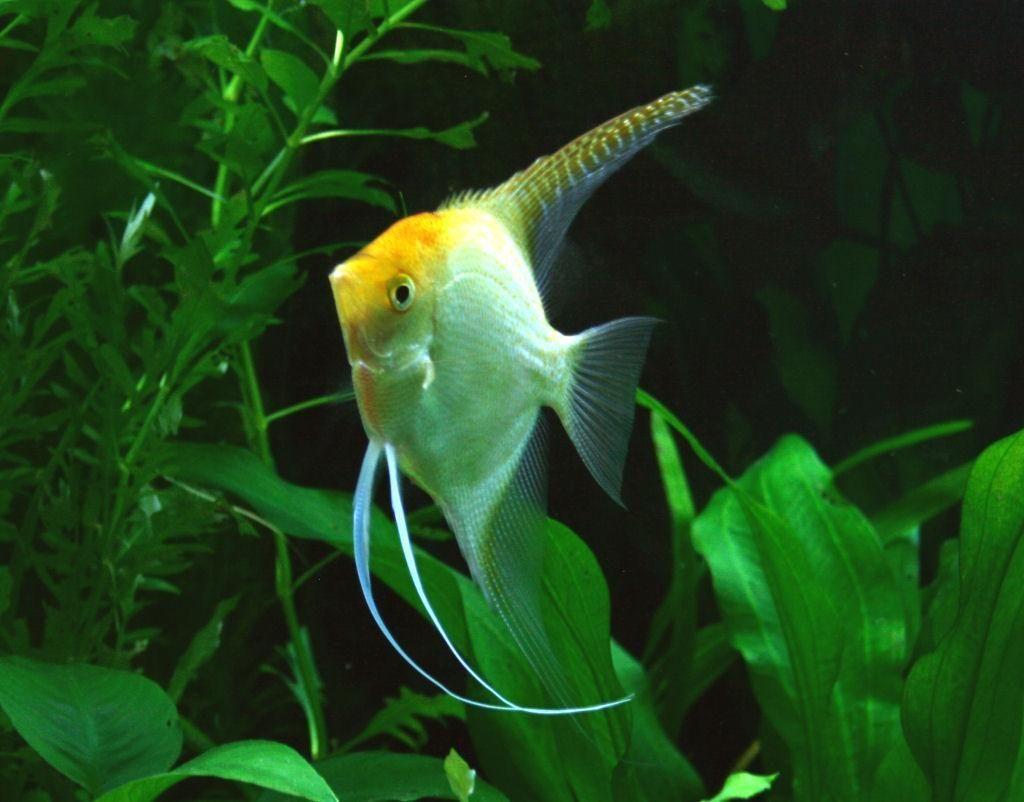 Galer a de im genes pez ngel for Peces para acuarios pequenos