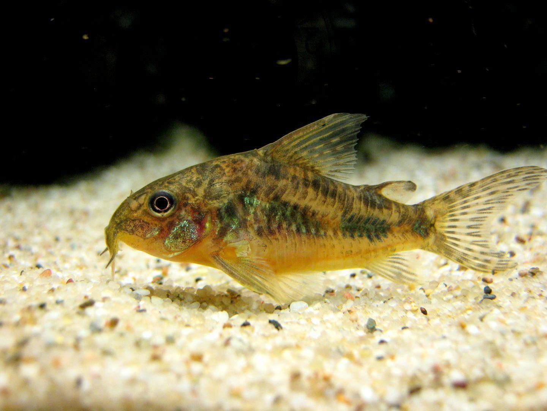 Pez limpia fondos en acuario im genes y fotos for Carpas para acuario