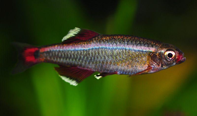 Peces agua dulce for Imagenes de peces chinos
