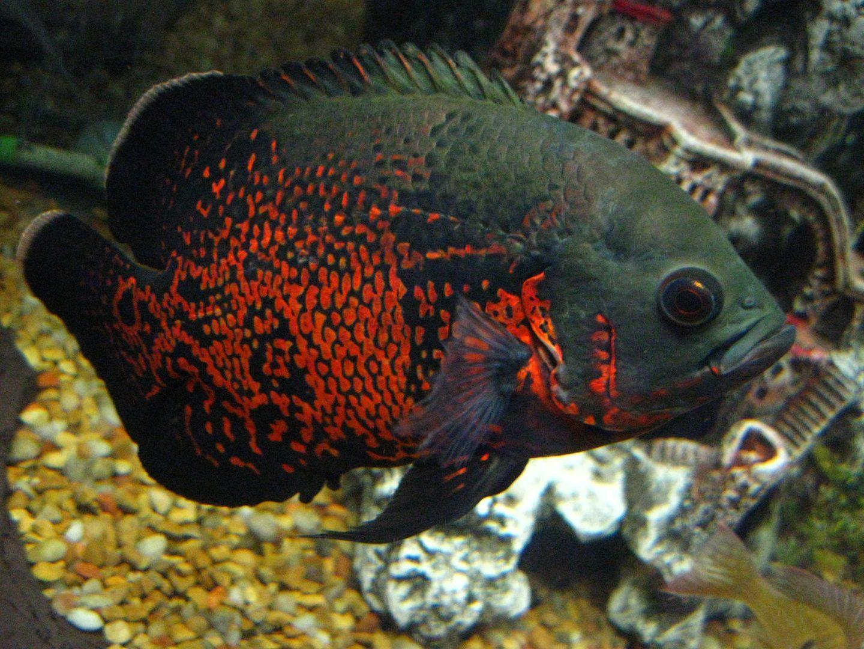 Fotos de pez oscar