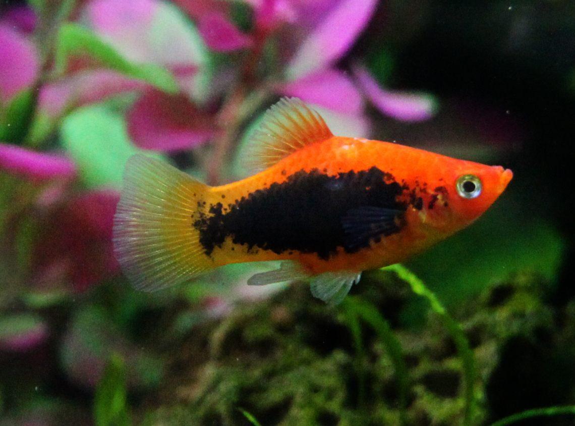 Pez platy naranja y negro im genes y fotos for Carpas koi cuidados