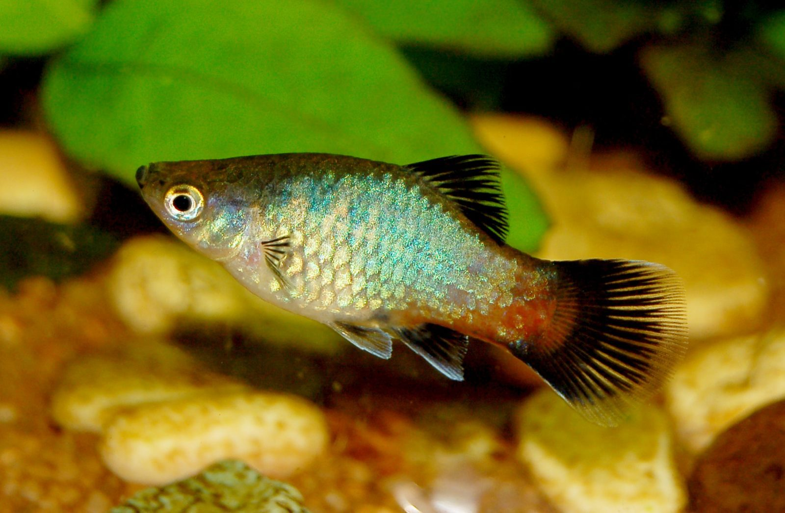 southern black bream female how to tell