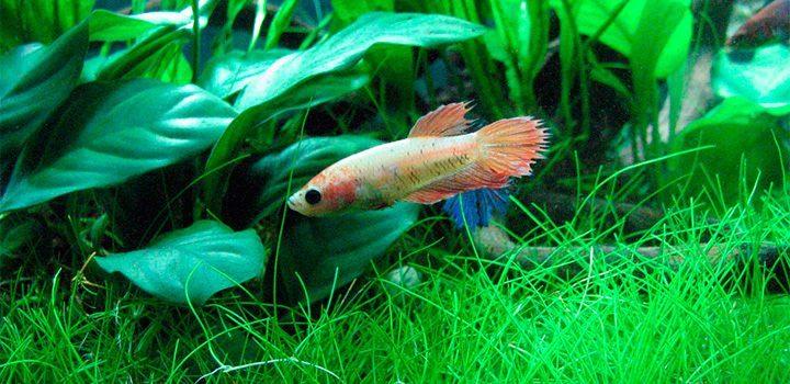 Plantas naturales para el acuario im genes y fotos for Peces artificiales para acuarios
