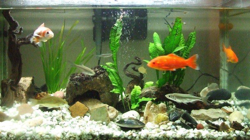 Tipos de acuarios de agua dulce for Cuidados acuario agua fria